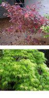 Acer japonicum Aconitifolium  - Eisenhutblättriger Japan-Ahorn