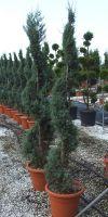 Cupressus macrocarpa Goldcrest- Monterey- Cypress, spiral