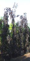 Fagus sylvatica `Purpurea Pendula` - dark weeping beech