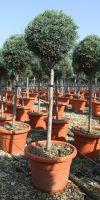 Cupressus arizonica `Fastigiata` - Arizona cypress