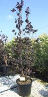 Cotinus coggygria Royal Purple- Perückenstrauch
