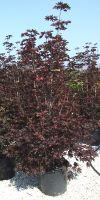 Acer platanoides Crimson Sentry - Norway maple