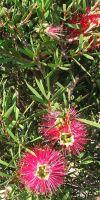 Callistemon citrinus - Bottlebrush