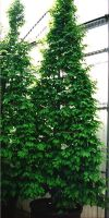 Carpinus betulus - European Hornbeam, Common Hornbeam