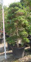 Camelia sasanqua - Gardenbonsai, Macrobonsai
