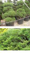 Juniperus chinensis Bonsai - Chinese Juniper