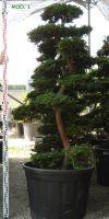 Chamaecyparis obtusa bonsai  Hinoki cypress