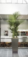 Kentia howea forsteriana in a Planter