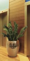 Zamioculcas zamiifolia  im exklusiven Pflanzgefäß - Zamioculcas