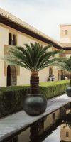 Cycas revoluta in a Planter