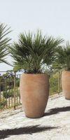Chamaerops humilis in a Ceramic Planter