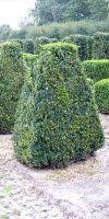 Buxus sempervirens arborescens - Pyramidenstumpf