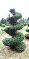 Taxus baccata - European Yew, Spiral