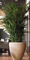 Kentia howea forsteriana  - Kentia Palm in a Planter