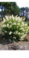 Hydrangea macrophylla Mathilde - Gartenhortensie, Solitärpflanze