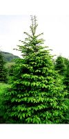 Abies nordmanniana - Nordmann fir, Caucasian fir