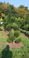 Taxus baccata -  European Yew Gardenbonsai