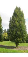 Carpinus betulus Fastigiata XXL-EXTRA