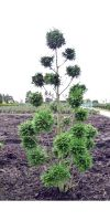 Cupressocyparis leylandii - Leyland Cypress Garden Bonsai