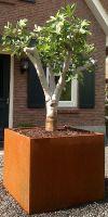 Fig tree in Corten steel planter XXL, container plant