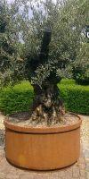 Olea europea  - Olivenbaum im Corten- Stahlpflanzgefäß