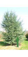 Cedrus atlantica Glauca - Blue Atlas Cedar