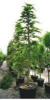 Cedrus deodara Aurea - Golden Himalayan Cedar