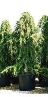 Cedrus deodara Pendula - Weeping Himalayan cedar
