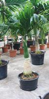 Areca catechu - betel palm