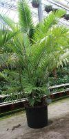 Arenga englerii - Formosa palm