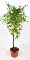 Bambusa ventricosa - Buddhas-belly bamboo