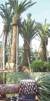 Phoenix canariensis XXL - Canary Islands Date Palm