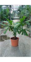 Licuala spinosa - Spiny Licuala palm