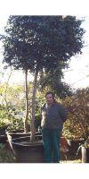Camellia japonica - Kamelie