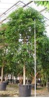 Ficus allii Amstel King