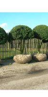 Buxus sempervirens arborescens - Buxusbaum, Kugel auf Stämmen
