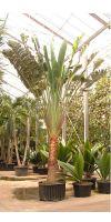 Ravenala madagascariensis - Baum der Reisenden