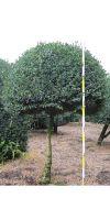Buxus sempervirens arborescens -  Buchsbaum Kugel auf Stamm