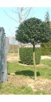 Ilex aquifolium Sharpy - Common Holly