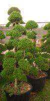 Ilex crenata Bonsai - Garden bonsai