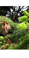 Abies alba - Weißtanne