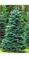 Abies concolor - Colorado-Tanne, Grautanne