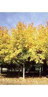 Acer cappadocicum `Rubrum` - Kolchischer Blutahorn
