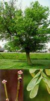 Acer negundo - Eschen-Ahorn