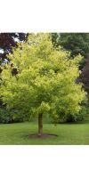 Acer negundo Aureo Variegatum - box elder; ashleaf maple