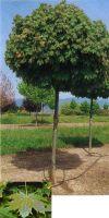 Acer platanoides `Globosum` - Norway Maple