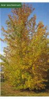 Acer saccharinum - silver maple