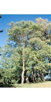 Ailanthus altissima - Götterbaum