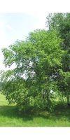 Betula utilis - Himalayan birch