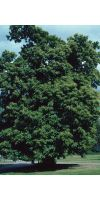 Castanea sativa - Sweet Chestnut